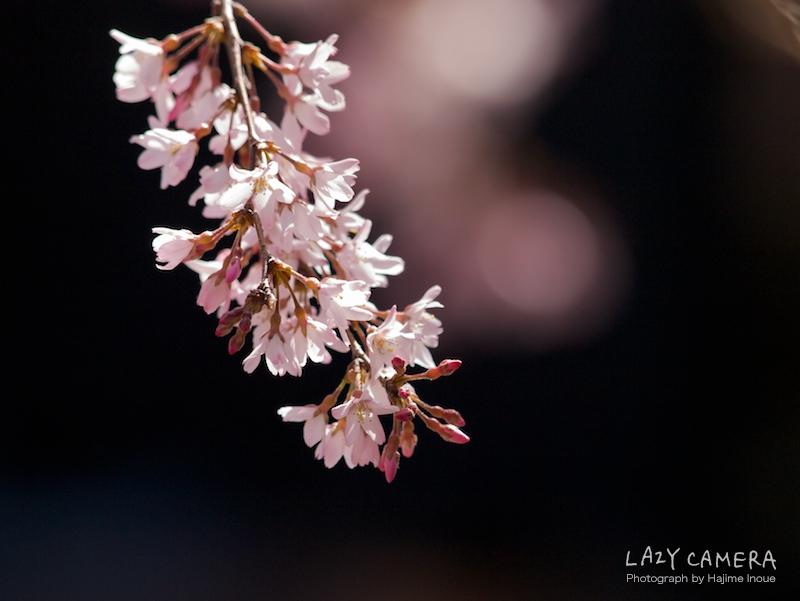 今年1枚目の桜