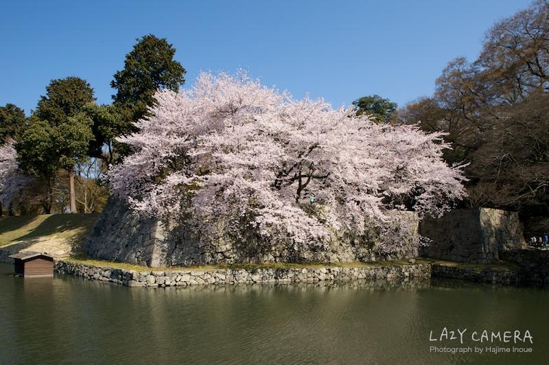 彦根城の桜も満開